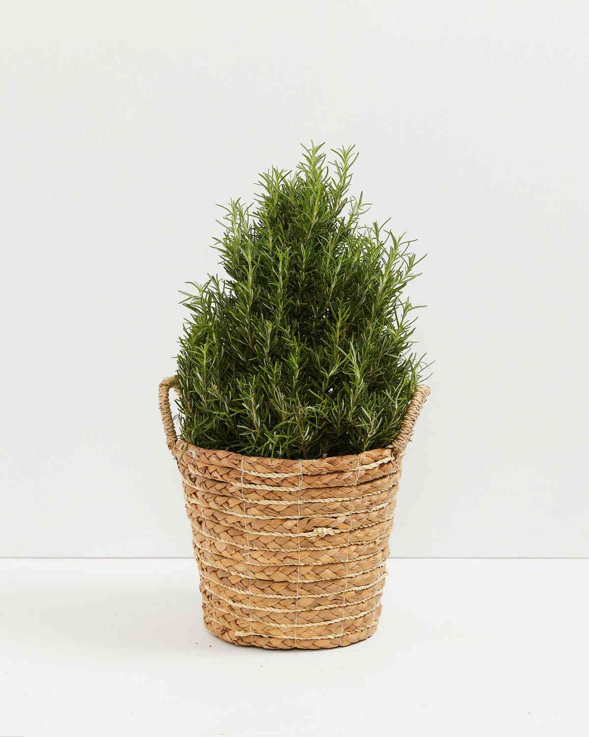 rosemary plant shaped like a christmas tree in a woven basket